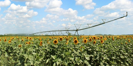 Panoramic view of a sprinkler system in a field of sunflowers photo