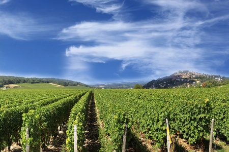 vineyard vines and grapes for the harvest of the great wines of France