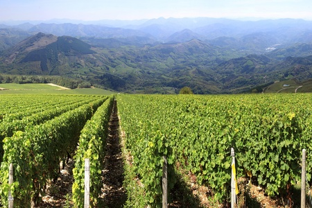 rows of vines in a vineyard with a horizon of mountains