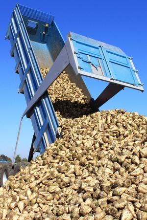 a farmer in a field of sugar beets