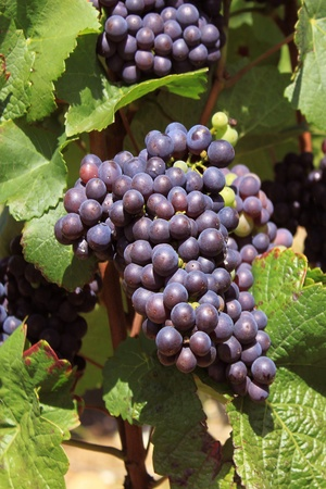 bunches of grapes on vines in a vineyard before harvest Stock Photo - 14421555