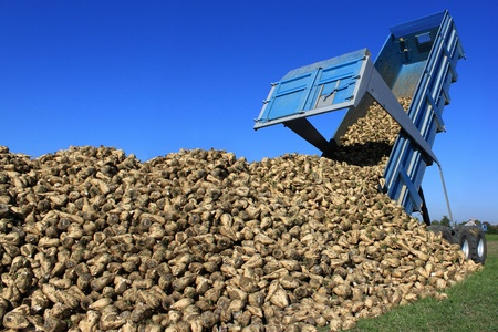sweeten: a farmer in a sugar beet field