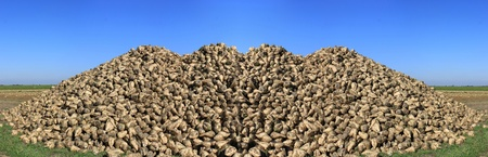 sweeten: panoramic photograph of a sugar beet field