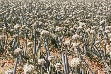 furrows: A field of onions in perspective for organic farming