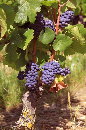 clusters: bunches of grapes on vines in a vineyard before harvest