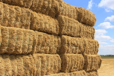 many haystacks piled on a field of wheat photo