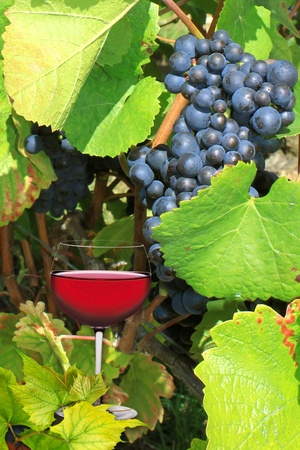 a glass of red wine on the vines during harvest photo