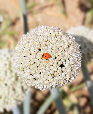 furrows: a ladybug on a flower close-up of onions