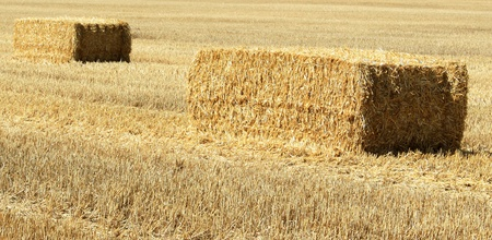 A bundle of straw in a field of wheat crop photo