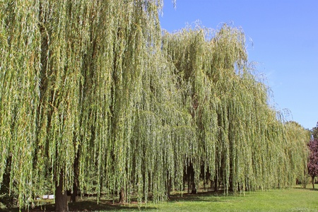 willows: weeping willow in summer on blue sky background