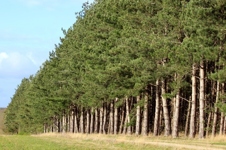 A forest of pine rows on a background of blue sky autumn Stock Photo