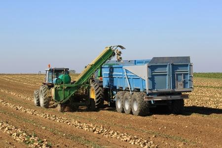 Aufnehmen von Zucker Rüben mit einem Traktor und einem Lastwagen