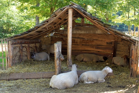 sheepfold: sheep in a medieval barn on a farm in Middle Ages