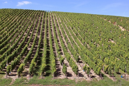 landscape with rows of twenty in a vineyard view Stock Photo - 17459285