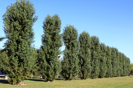 poplars: A line of trees on a background of blue sky in a summer park