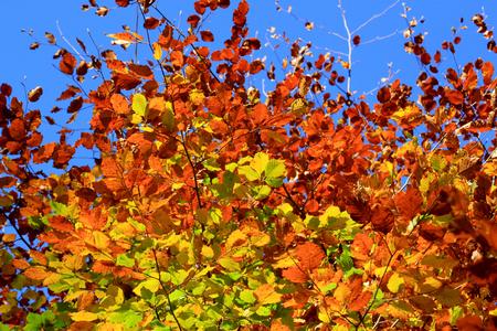 Fall foliage of beech close up on a blue sky background