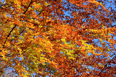 underbrush: Close-up of the autumn foliage of a beech on a bottom of blue sky