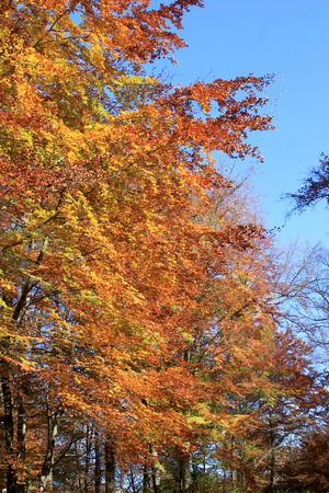 underbrush: An avenue of beeches with its fall foliage on blue sky background Stock Photo