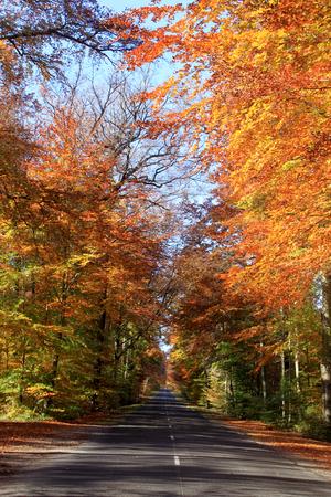An avenue of beech trees fall foliage along a road on a blue sky background