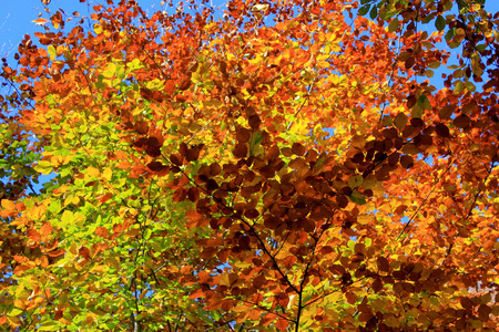 Foliage of a beech in autumn on the background of blue sky