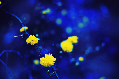 defocus: Flowers background and nature texture yellow dandelion and deep blue