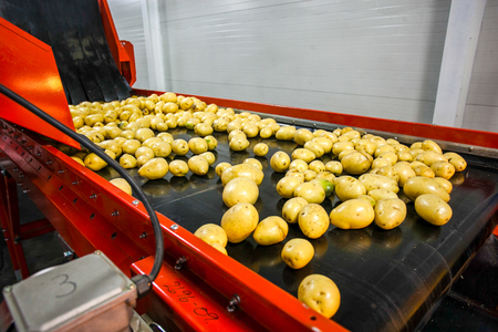 food drink industry: Potato sorting, processing and packing factory vegetable with big machine