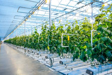 현대 농업 공장에서 조명 관리의 전체 현대 온실에서 녹색 작물 스톡 콘텐츠