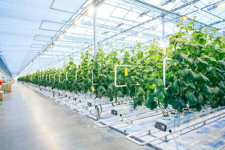 Raccolto verde in serra moderna e piena di ligh nella moderna fabbrica di agricoltura Archivio Fotografico - 52838086