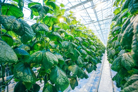 in the greenhouse: Green crop in modern greenhouse full of ligh in modern agriculture factory