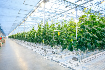 ligh: Green crop in modern greenhouse full of ligh in modern agriculture factory