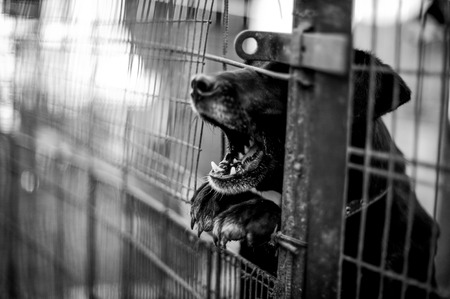 Barking chien derrière la clôture en monochrome