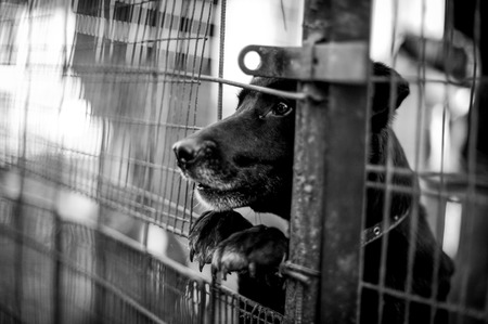 angry dog: Perro negro detrás de la valla en blanco y negro
