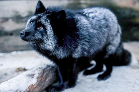 silver fox: Portrait of black beautiful fox in the aviary