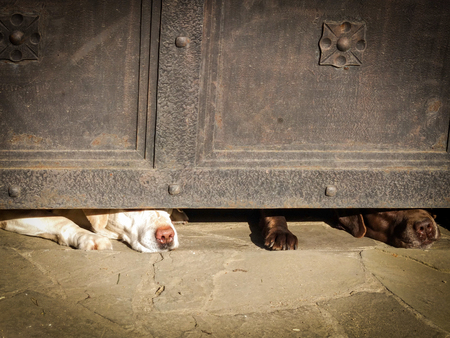 poke: Dogs hungry waiting for owner to return home, nose poke in the door Stock Photo
