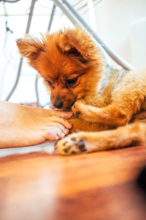 Close-up puppy on the floor playing with women foot on the white soft and blurred background