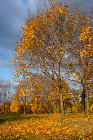 autmn: Autmn yellow trees with fallen leaves at park with bly and cloudly sky