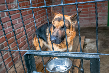 waiting convict: sad dog german shepherd in a cage waiting for food