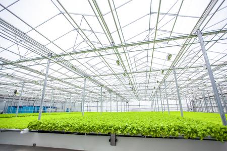 sistema de planta de lechuga en un invernadero muy grande