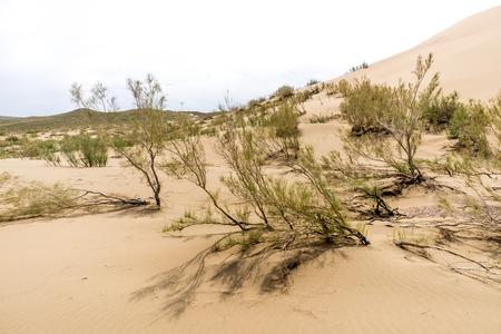 gnarled: gnarled bushes in the sand sunny desert
