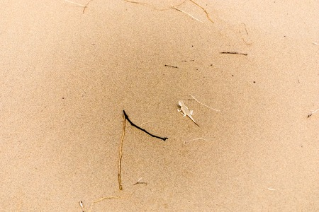 viviparous: small lizard on the sand in desert