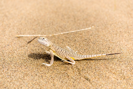 viviparous lizard: beautiful little gray lizard on the sand in desert close up Stock Photo