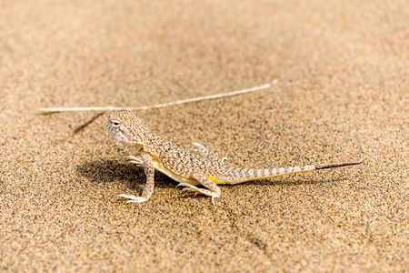viviparous lizard: beautiful little gray lizard on the sand in desert
