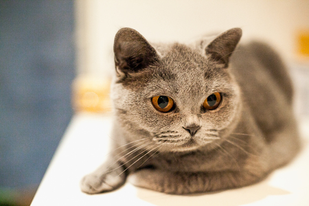 british shorthair: Portrait of British Shorthair cat on a white windowsill. Stock Photo