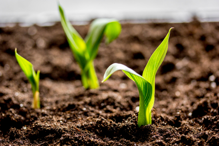 Concept appearance of life - sprout from soil close up. Stock Photo - 69683776