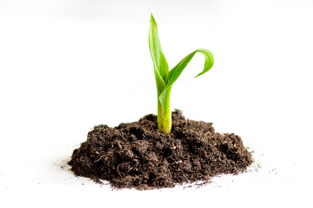 Concept birth of idea- sprout from soil on white background