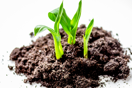 Concept birth of idea- sprout from soil on white background.