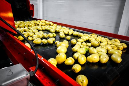 Sorted cucumbers on a conveyor belt on manufacture. Agriculture technology