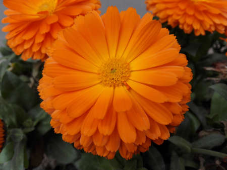 minors: close up to a orange flower