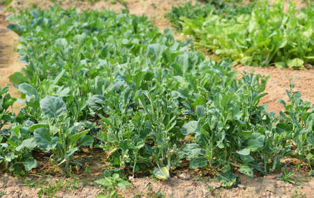 pollution free: Broccoli cultivation