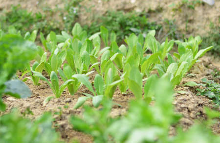 pollution free: Chinese Chrysanthemum seedlings nursery Stock Photo